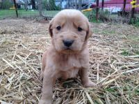 Golden Retriever PUPPY FOR SALE ADN-62920 - Beautiful Golden Retriever Puppies
