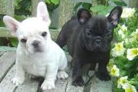 CUTE LITTLE Frenchie Bulldog PUPPIES IN NEED OF A NEW HOME NOW