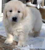 Beautiful European White Golden Retriever puppies