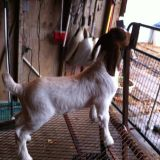 CHAMPION Boer Goat SHOW Stock Does Wethers For Sale