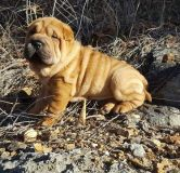 Chinese Shar-Pei PUPPY FOR SALE ADN-56161 - Outstanding male bushed coat