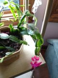 Christmas Cactus clippings, now blooming