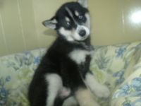 Siberian Husky PUPPY FOR SALE ADN-62672 - zeus