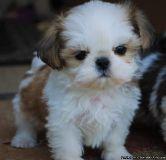 Eastpointe WJKA #! Shih Tzu Puppies