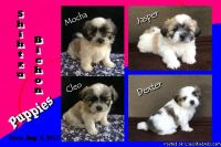 Shihtzu Bichon Puppies