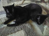 2 black kittens 11 weeks old