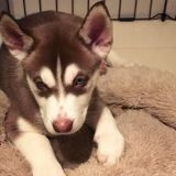 Siberian Husky PUPPY FOR SALE ADN-52673 - Siberian Husky Puppies For Sale