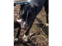 Adopt Precious a Black Australian Cattle Dog / Mixed dog in Tahlequah