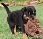 KIKIFFGTHH champion blood line German Rottweiler puppies FOR SALE