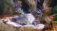 African Convict Cichlid