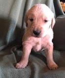 khgfyjty nice Golden retriever puppies ready now