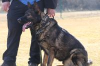 German Shepherd Dog PUPPY FOR SALE ADN-57373 - WORKING LINE  Czech Republic GSD