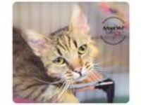 Adopt Linus a Brown Tabby Bengal / Mixed (short coat) cat in Belton