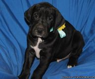 Lucky Cute M/F Great Dane Puppies