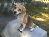 Champion cute and nice beagle puppies for sale