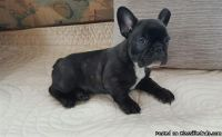 Intelligent French Bulldog puppies for sale
