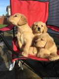 Pure Breed Golden Retriever puppies for rehoming