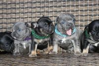 French Bulldog PUPPY FOR SALE ADN-52074 - Blue Tan and Black Tan Frenchie Pups