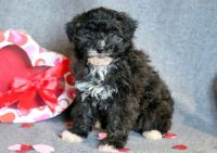 Lhasa-Poo PUPPY FOR SALE ADN-64364 - Lhasapoo Puppy for Sale