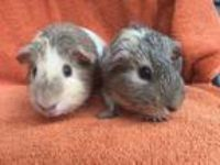 Adopt Syrup (bonded to Pancake) a Guinea Pig small animal in Imperial Beach