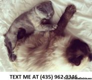 Fascinating100%/ Adorable sweet Scottish fold kittens for sale