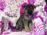 German Shepherd Dog PUPPY FOR SALE ADN-56021 - Zeema   AKC Champion Sired