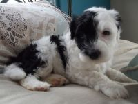 Portuguese Water Dog PUPPY FOR SALE ADN-64370 - Baby Boy Porty