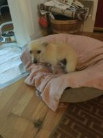 Unknown-Chihuahua Mix PUPPY FOR SALE ADN-54945 - Half breed Chihuahua for sale