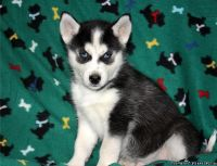Husky Puppies ready for adoption,,