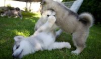 Blue Eyes Creamy Male and Female Alaskan Malamutes Puppies Ready