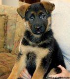 JBVGHFCFG German Shepherd Puppies