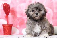 Zuchon PUPPY FOR SALE ADN-63461 - Lollie Stunning Female Teddy Bear Puppy