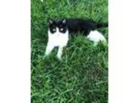 Adopt Rebecca a Black & White or Tuxedo Domestic Shorthair (medium coat) cat in