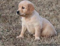 Healthy Cute M/F Golden Retriever Puppies