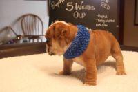 English Bulldog PUPPY FOR SALE ADN-63156 - AvailaBULL  Standard English Bulldog