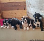 QASDV Boxer Puppies for Sale