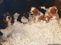 Cavalier King Charles Spaniel Puppies For Sale Text:(540)x268x0083