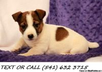 WXDS(#!*^) Worthy Jack Russell Terrier Puppies