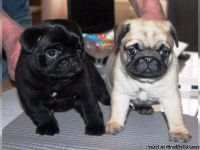 Black and fawn Pug Puppies