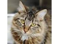 Adopt Martha a Domestic Long Hair