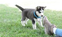 FGHRE SIBERIAN HUSKY PUPPIES AVAILABLE FOR SALE Text: (4O4) 692 XX 3714