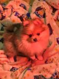 AKC CHAMPION LINE CHOCOLATE MERLE FEMALE POMERANIAN PUPPY