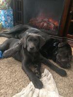 Labrador Retriever PUPPY FOR SALE ADN-56449 - Charcoal female