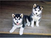 LOVELY M/F SIBERIAN HUSKY PUPPIES Available For Sale