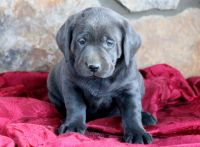 Labrador Retriever PUPPY FOR SALE ADN-52333 - Charcoal Lab Puppy For Sale