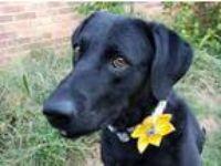 Adopt Molly a Chesapeake Bay Retriever, Labrador Retriever