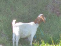 Boer goats for sale Delivery available
