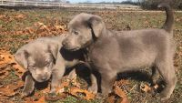 Labrador Retriever PUPPY FOR SALE ADN-53734 - Silver and Yellow Labs just in time for Christmas