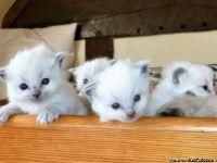 FSDWEE M/F Ragdoll Kittens Available,