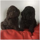 Beautiful cockapoo F1 puppies (cocker x poodle)